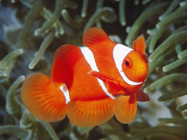 1434015425 white and orange fish wallpapers 11723 1280x960
